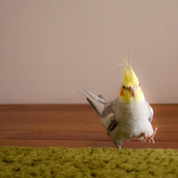 Cockatiel photo by Yura_okame, via Twitter.