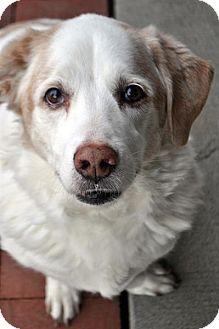 10/24/15-Fairfax Station, VA - Basset Hound/Hound (Unknown Type) Mix. Meet Rizzo a Dog for Adoption.
