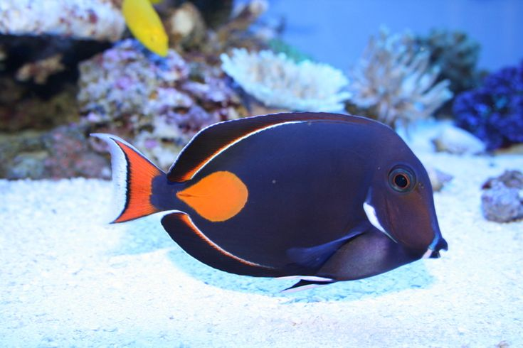 Achilles tang price 579 rare marine shop majestic for Blue tang fish price