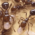 Fire Ant Bites - What Can I Use to Treat Them? - http://www.healtharticles101.com/fire-ant-bites-what-can-i-use-to-treat-them/#more-270