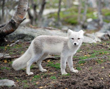 Arctic fox stock 17 by GrayeyesStock