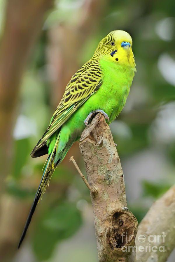 Green Male Budgerigar By Olga Hamilton In 2021 Budgerigar Green Budgie Australian Parrots