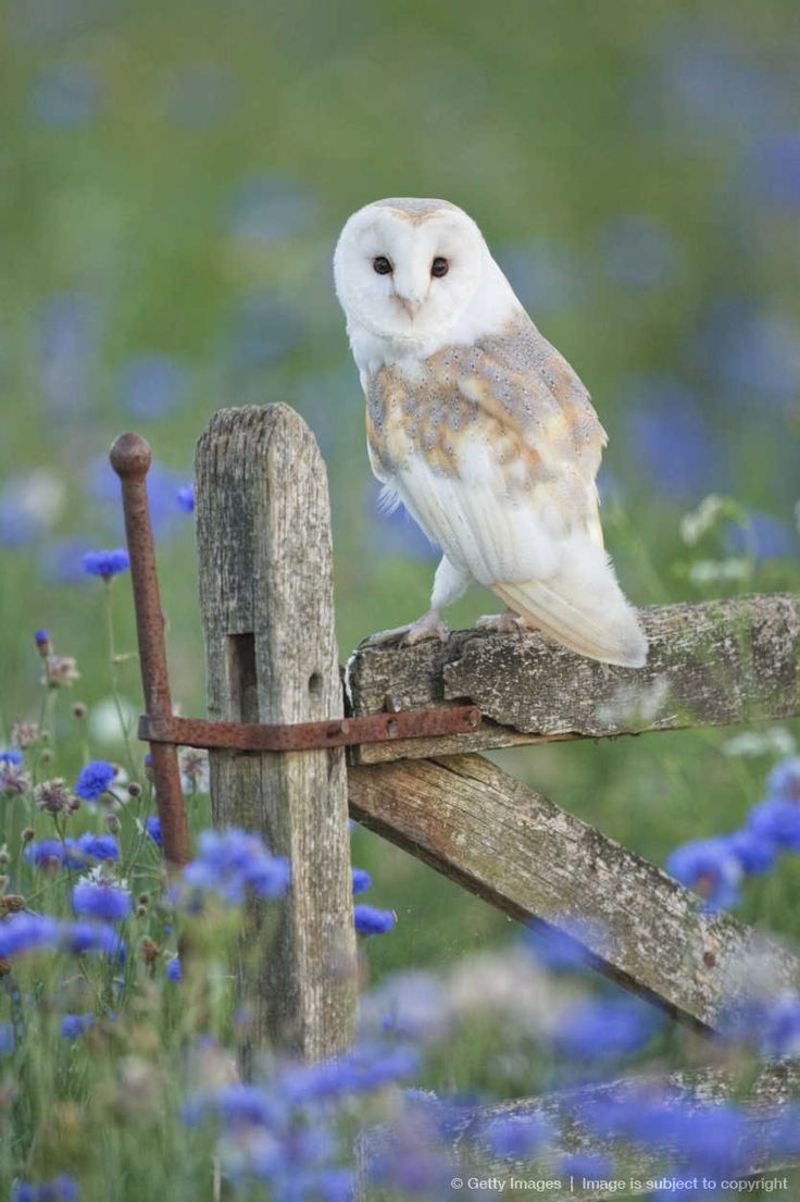 Barn Owl (Tyto alba) found everywhere except polar and desert regions