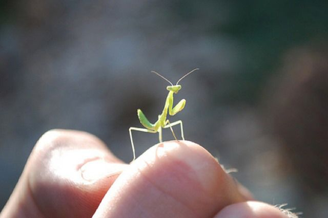 How To Recognise Praying Mantis Eggs Praying Mantis Insects