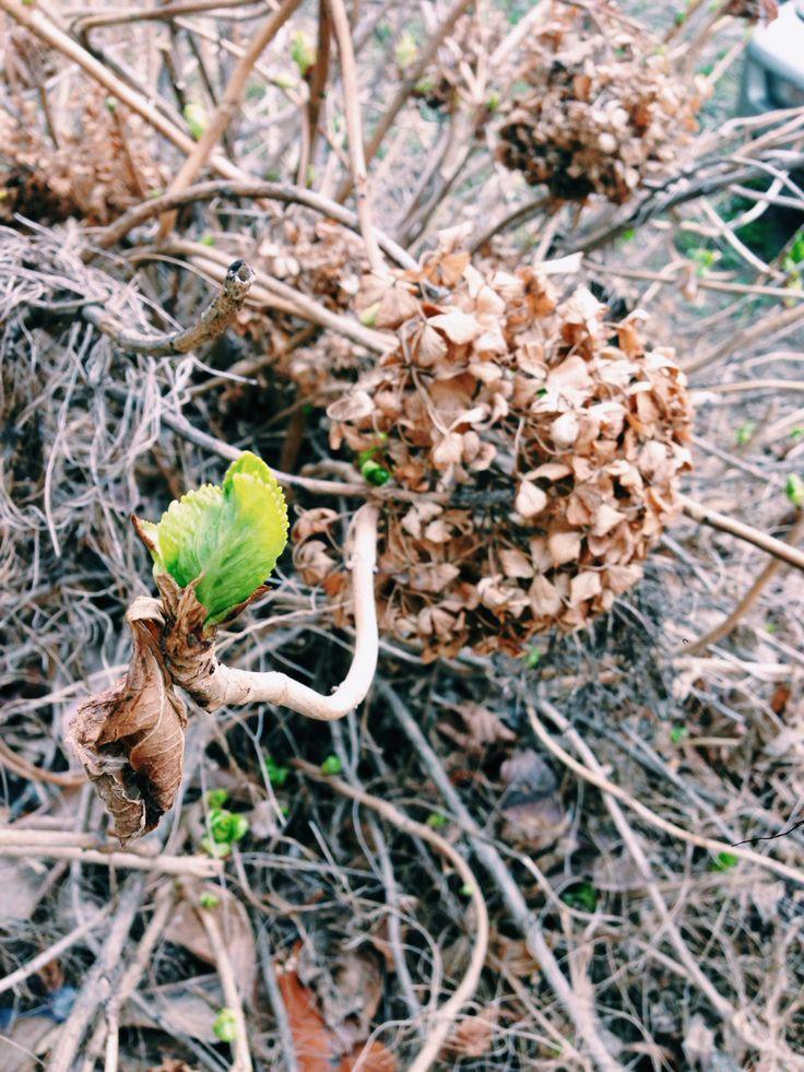 마른 수국꽃 사이에 봄 새싹. 늦겨울 또는 이른 봄 개포동
