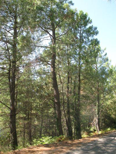 Pinus pinaster - pin maritime