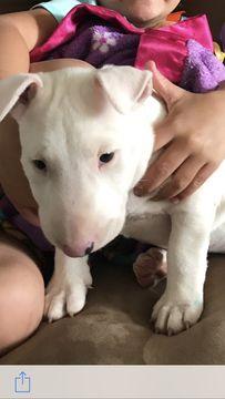 Bull Terrier puppy for sale in ALLENTOWN, PA. ADN-37002 on PuppyFinder.com Gender: Female. Age: 14 Weeks Old