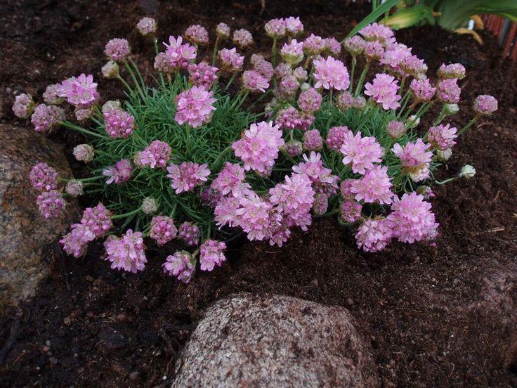 ARMERIA juniperifolia - Engelsk græs, farve: lys rosa, lysforhold: sol, højde: 12 cm, blomstring: april - maj.