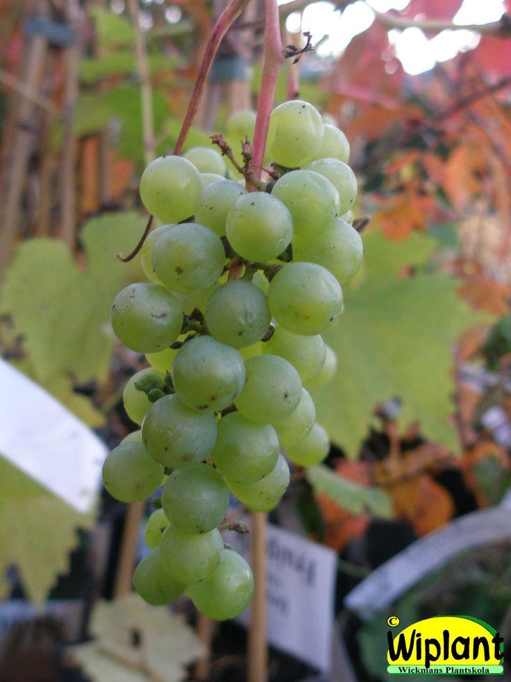 Vitis 'Supaga', vinranka. Lettiska kalljordsvin, Härdigt (-25 grader) ljusgula druvor, självfertilt. Obs! Sur jord (pH=5,5). Kan odlas utomhus på varma platser.