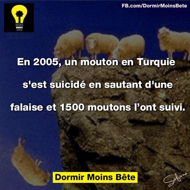 En 2005, un mouton en Turquie s'est suicidé en sautant d'une falaise et 1500 moutons l'ont suivi.
