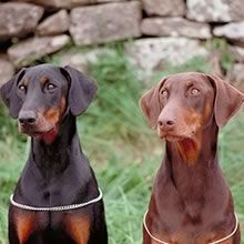 Dobermans w/ natural ears..... The rust one looks just like my Diesel!!! So sweet and cute!!!