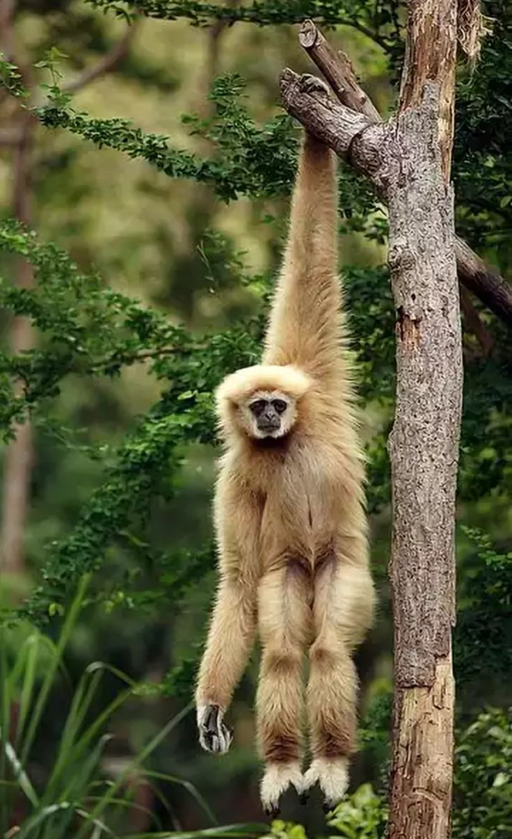 White-handed Gibbon Monkey