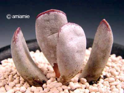 Adoromischus sp. エスカップ