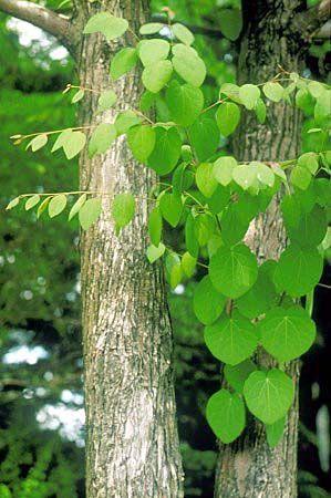 Cercidiphyllum - Wikipedia