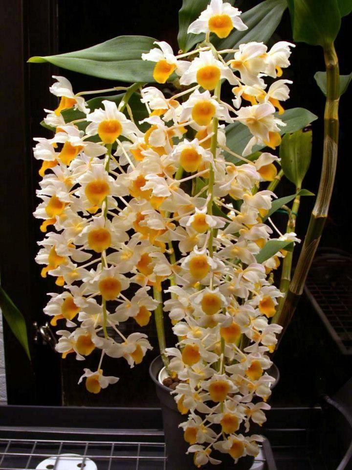 Especies De Orquideas | Dendrobium densiflorum. | roses are overrated | Pinterest