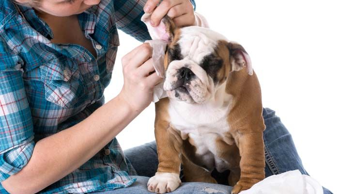 Let's Talk: What Are Dog Ear Mites and How to Get Rid of Them Naturally | Top Dog Tips