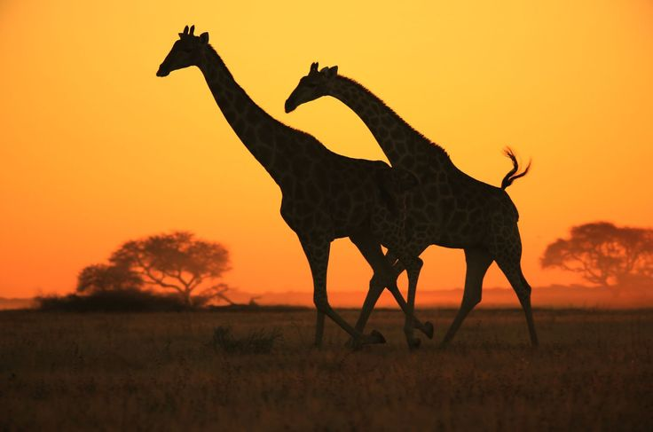 "A pair of Southern African Giraffe cows gallop across an open field, as seen in the wilds of Namibia, southwestern Africa at sunset. Freedom of wildlife is in essence the most beautiful thing nature has to offer. Freedom is wild, natural and magnificent. The sunset colors add on to the graceful gallop of this pair as they stride over an open savanna field. Although they can not talk, I am sure these Giraffes were also saying ""Oh my, what a sunset"". Or something of the like. ..."