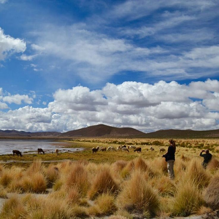 Grazing llamas on our way to the Uyuni salt flat, in our 4 day trip from San Pedro de Atacama.