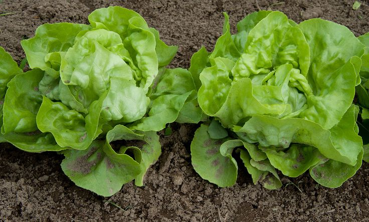 Is the price of your gardens a good deal? Yes Mighty Finers! A head of lettuce in the store costs about $3.00 Grow one using Mighty Fine, and it costs less than a nickel. Veggies grown by you are a tiny fraction of what you pay in the store. And they don't have any pesticides, fungicides, or I-can't-believe-they-use-that-on-my-foodacides. No more not eating vegetables because they're waaay expensive. Eat right!