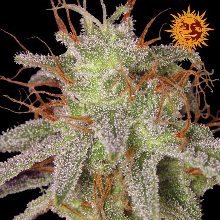 Barneys Farm - Amnesia Lemon Feminised Cannabis Seeds - Buy Cannabis Seeds Online | Dr Chronic Seeds | London | Essex | UK | The Original Cannabis Seed Emporium | The Worlds Best Marijuana Seeds