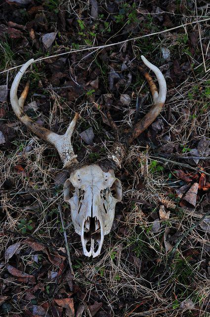 Deer skull and antlers