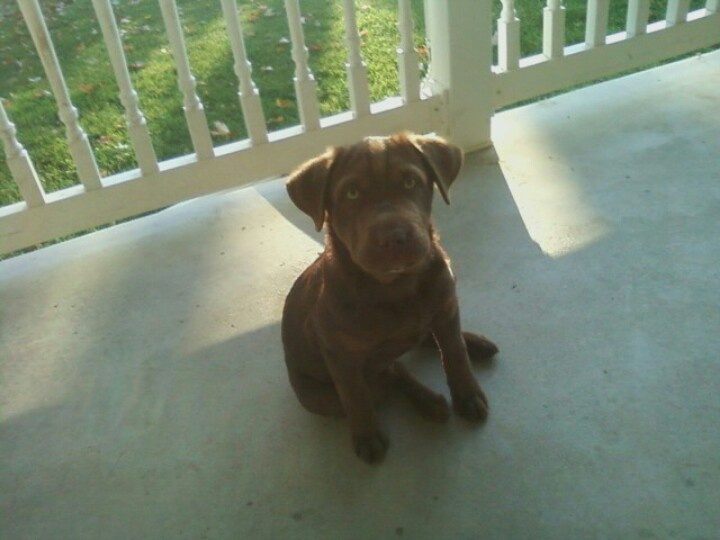 Chocolate Brown Lab With A Beagle Mix He Stays Small Beagle Mix Puppy Love Puppies