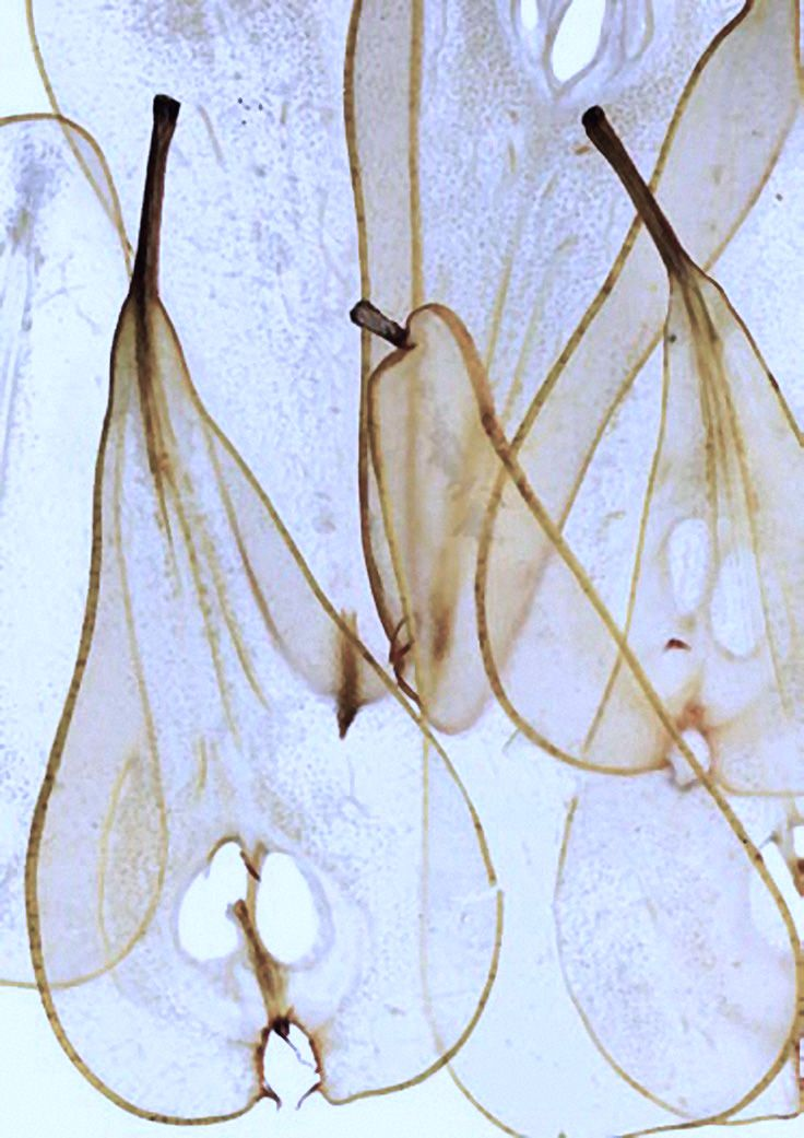 translucent pears