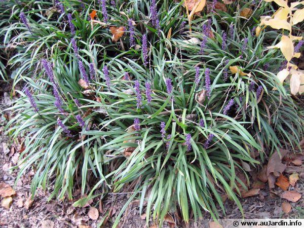 Liriope muscari  http://www.aujardin.info/plantes/liriope-muscari.php