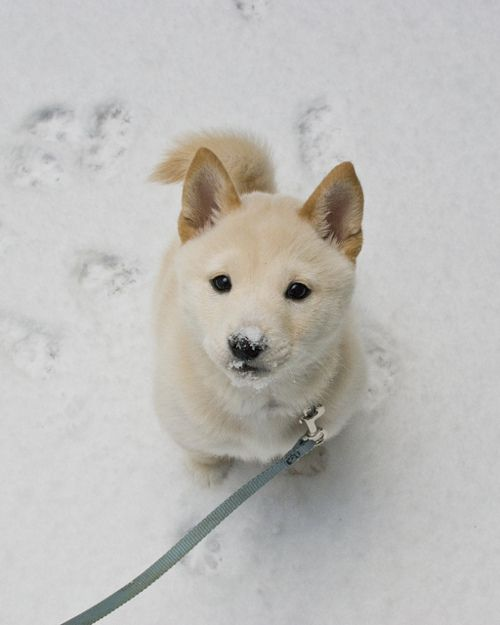 A Shiba-Inu. Its one of my favorite dog breeds.  They are extremely intelligent, confident, alert, faithful, charming, fearless and possess an outstanding memory. However they can also be independent, stubborn and absurdly prideful which could lead to aggression if not taken care of correctly.