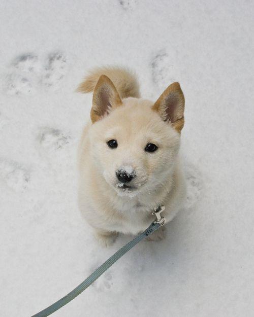 snow puppy. shiba?