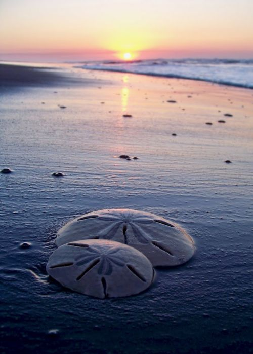 Anna Maria Island is a sand dollar haven. How many of you have found sand dollars while swimming?