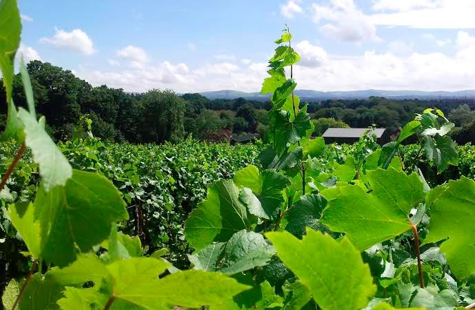 Award winning Vines at Bolney Estate near Haywards Heath