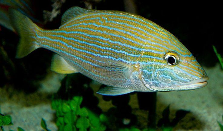 Las 25 mejores ideas sobre peces agua dulce en pinterest for Mejores peces agua fria