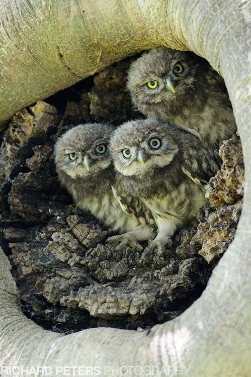 THREE LITTLE OWL OWLETS PEER OUT OF THEIR NEST HOLE IN THE SIDE OF A TREE