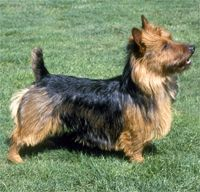 The Australian Terrier Dog Breed:  One of the quieter terriers, the Aussie is nonetheless a plucky, tough character, ready to go after a rodent when the chance arises. ...