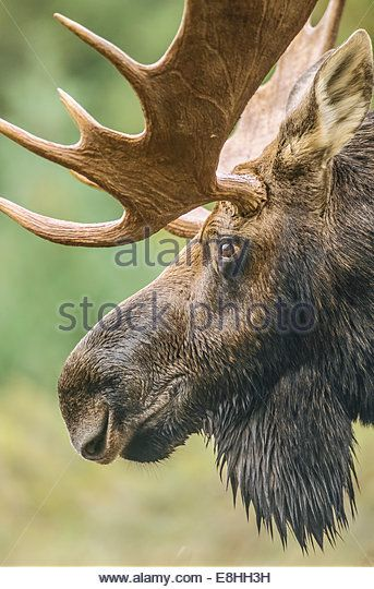 Mature bull moose in the north woods of Maine - Stock Image