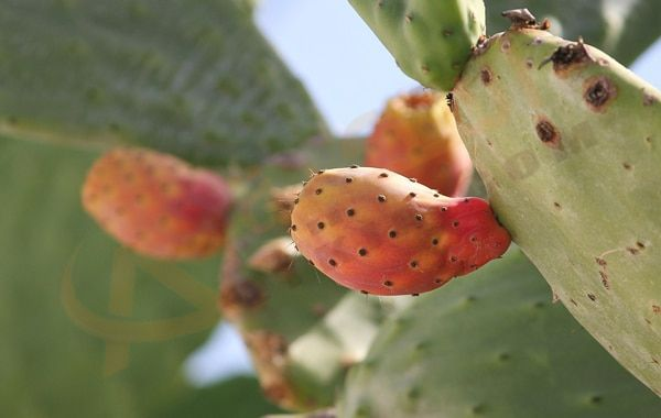 تفسير حلم رؤية التين الشوكي في المنام كما ورد في كتب تفسير الأحلام رؤية التين الشوكي في الحلم لها الكثير من الدلالات والرموز في حياتنا وتخ Sedum Fruit Cactus