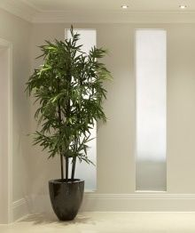 black bamboo grows fast and works well indoor