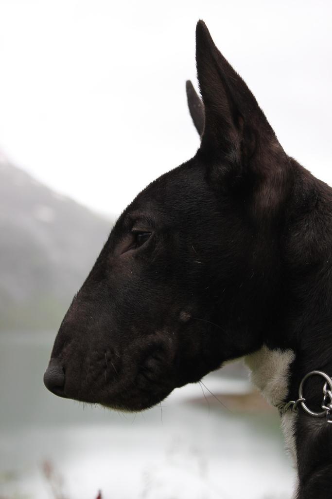 ElBull terrierobull terrier ingléses unaraza caninade la familia de losterrier. Son conocidos por la forma única de su cabeza y sus pequeños ojos en forma triangular. Su temperamento ha sido descrito como amante de la diversión, así como activos y graciosos.