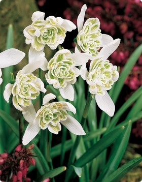 Double Flowered Snowdrops Would Grow From Heirloom Bulbs