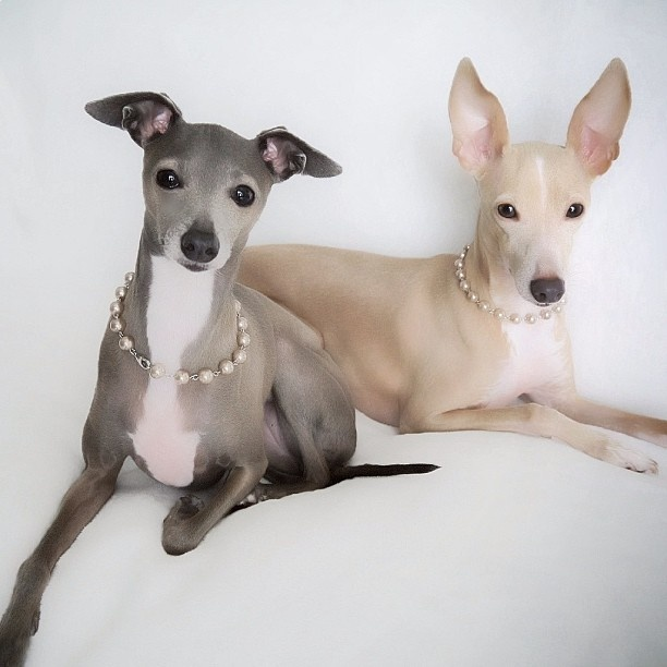 Image result for beautiful italian greyhounds