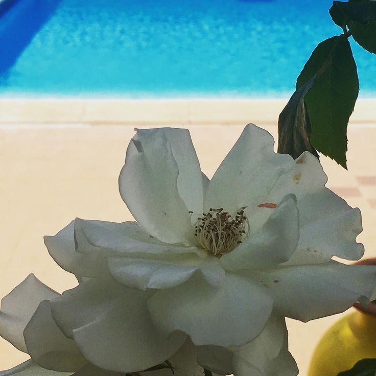#roses by the #poolhttps://goo.gl/VHrY5b #villatinaholidayhomes #villatina #villatinaeu #cilento #flowers #petal #petals #nature #beautiful #love #pretty #plants #blossom  #spring #summer #flowerstagram #flowersofinstagram  #flowerslovers #flowerporn #floral #like4like #followme #flowermagic #instablooms #bloom #blooms #botanical #floweroftheday
