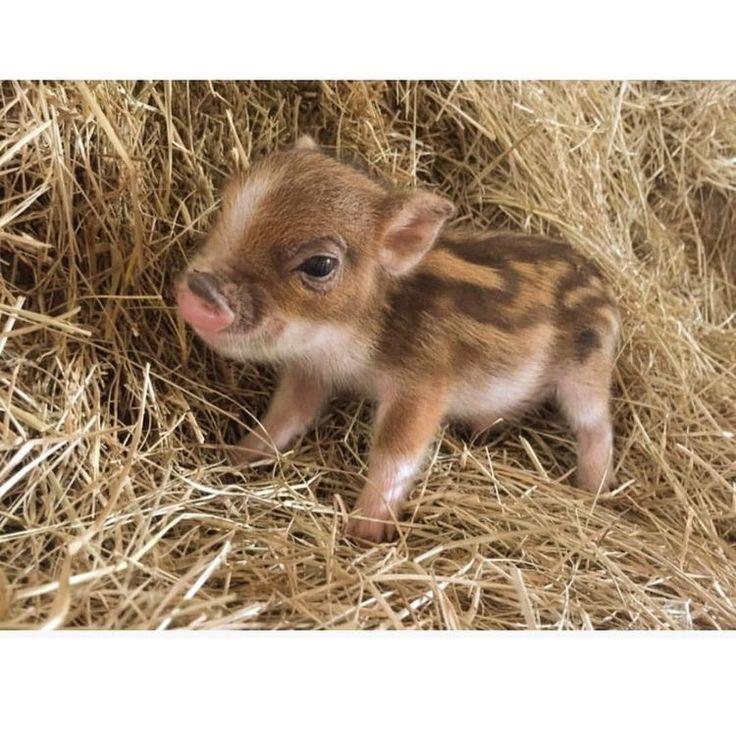 World's smallest pet pig