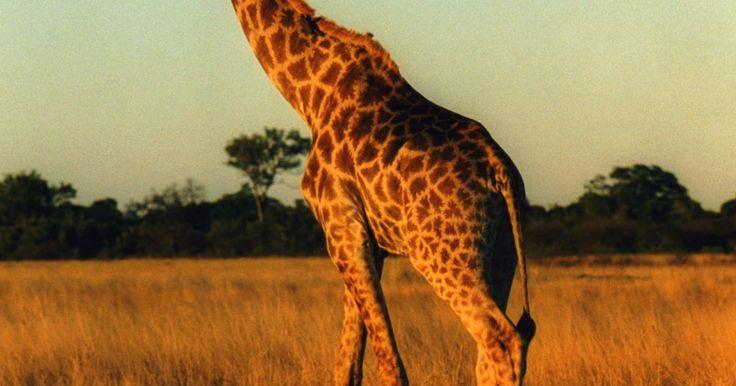 Descripción del ciclo de vida de una jirafa. Las jirafas han estado en la Tierra por miles de años y comúnmente se han visto en las cuevas con pinturas prehistóricas. Aunque son muy largas y un poco extrañas, también son únicas y grandiosas y han aprendido a sobrevivir y más aun a crecer en la naturaleza. Las jirafas, si las dejas solas, pueden llegar a vivir vidas largas y activas.