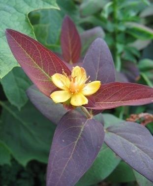 MILLEPERTUIS ALBURY PURPLE hypericum vivace  C'est un arbuste vivace à feuillage semi-persistant, vert, panaché de pourpre (H. A. Albury Purple' ) de blanc (H. A. 'Glacier).  Elle mesure jusqu'à 1 mètre.  L' hypericum se plaît indifféremment au soleil ou à mi-ombre .