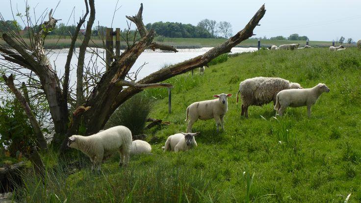 Schafe am Deich an der Leda.