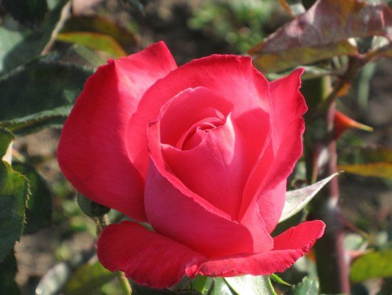 17 Best Images About A Rose By Any Other Name On Pinterest Nancy Reagan Yellow Shades And