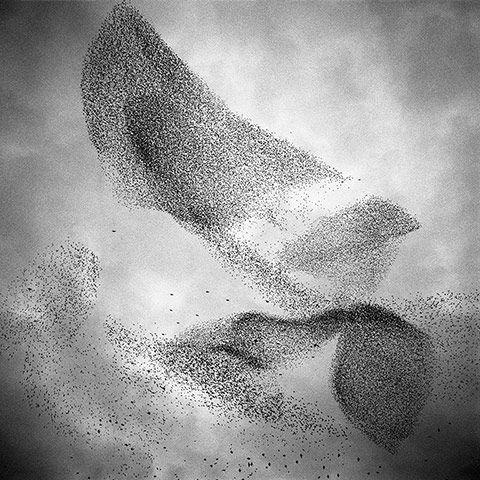 Paolo Patrizi:  photo of European Starlings