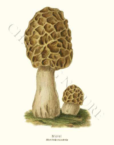 Morel  Morchella esculenta mushroom art print 8x10 Print