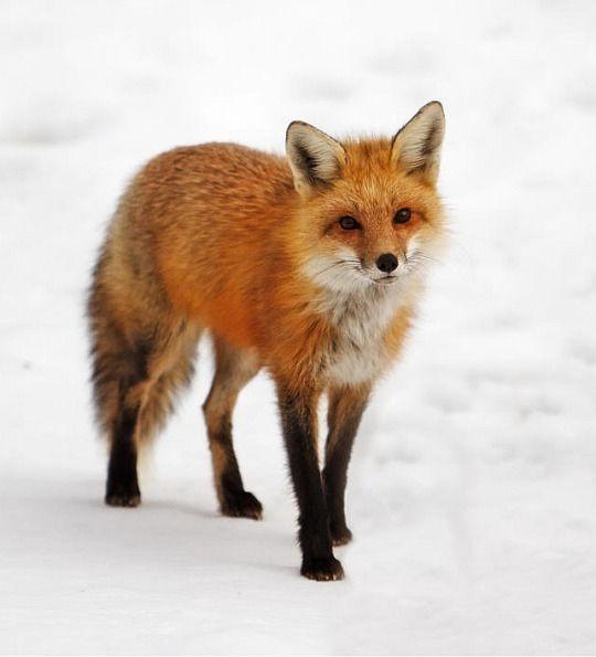 Red Fox by Shelle Ettelson